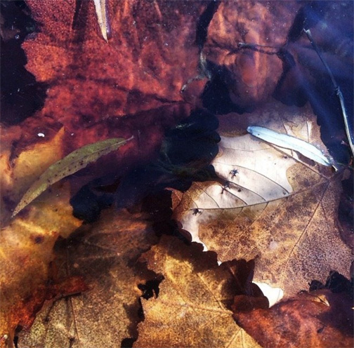 Frozen Leaves on Billy Goat Trail A - Kelly Holland