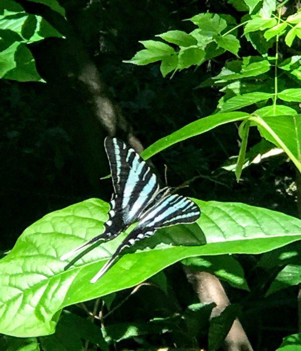 Zebra Swallowtail on Paw Paw leaf- Jon Wolz
