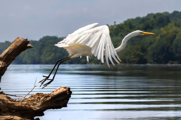 Egret where the Potomac at Seneca Breaks, just off from Violettes Lock (lock 23 at mile marker 21.2) by Mark Regan