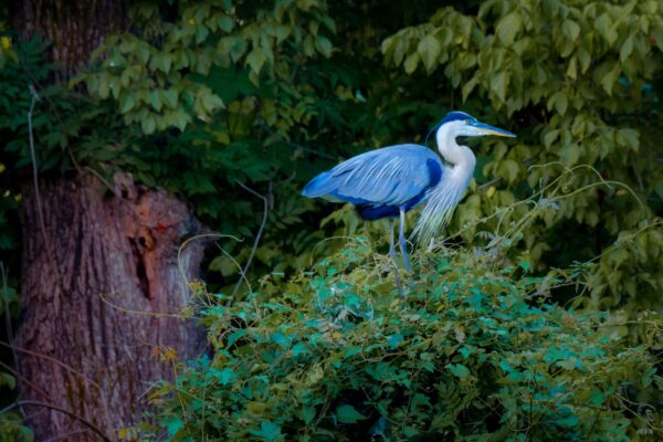 The flight of the Mighty Heron - Near Lock 5, Bethesda, MD by Vinod Thomas