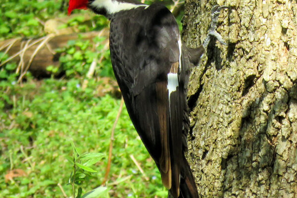 Woodpecker (Pileated Woodprecker)- MJ Clingan